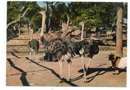 83 -  FRÉJUS - Parc Zoologique De Fréjus - Les Autruches (D6) - Oiseaux