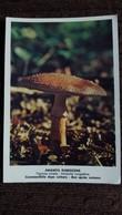 CPM CHAMPIGNON AMANITA RUBESCENS AMAINTE ROUGEATRE COMESTIBLE PHOTO POLETTI - Mushrooms