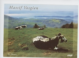 Vache - Massif Vosgien Le Donon - Les Vosgiennes (Hautes Vosges) - Vaches