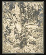 Large Albumen Photo - Cacao Fruit Tree, OCEANIA - Anciennes (Av. 1900)