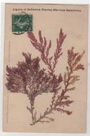 CPA 85 : Algues Et Goëmons - Plantes Marines Naturelles  - Ed. L.Amiaud Aus Sables D'Olonne - 1913 - Fleurs, Plantes & Arbres