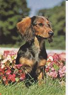 Chien - Teckel - Hunde