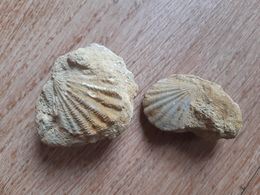 Lot De 2 Bivalves Pecten, Callovien, Chauffour (72) - Fossiles