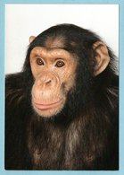 CP Animaux - Le Chimpanzé SAM - Zoo De Champrepus 50 Manche - Non Classés