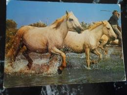 CP / CHEVAUX DE CAMARGUE  A Travers Les Marais - Paarden