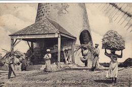 1367/ Feeding Sugar Cane Mill, Barbados, BWI - Barbados (Barbuda)