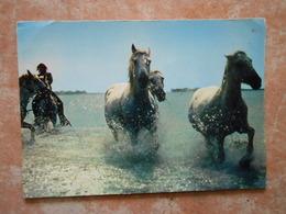 CP /  CHEVAUX DE CAMARGUE / L'heure De La Baignade - Paarden