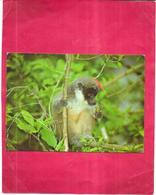 ARCHIPEL Des COMORES - Lemurien MAKI - 170520 - - Mayotte