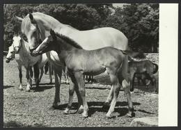 HORSE - HORSES Kobilarna Lipica  Sezana - Postcard (see Sales Conditions) 01861 - Horses