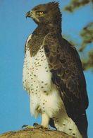 Martial Eagle South Africa African Rare Bird Postcard - Oiseaux