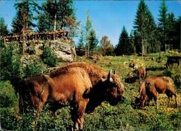 Ansichtskarte  Nationalpark Bayerischer Wald Wisent Wisente Im Gehege 1977 - Animaux & Faune