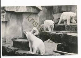 Emmen - Noorderdierenpark - ZOO - Ijsberen [AA47-1.198 - Pays-Bas