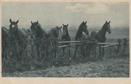 Plusieurs Chevaux Dans Un Pré (Pierde In Der Koppel In Kupferdruck - Horses