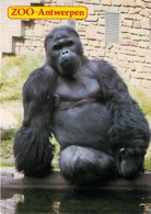 Animaux - Singes - Belgique - Zoo Antwerpen - Zoo D'Anvers - Gorille - CPM - Voir Scans Recto-Verso - Singes