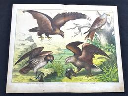 Ancienne Lithographie Planche Histoire Naturelle Oiseau Aigle - Prenten & Gravure