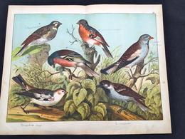 Ancienne Lithographie Planche Histoire Naturelle Oiseau Pinson Bruant Moineau - Prenten & Gravure