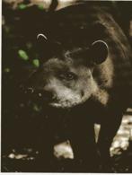 CD) Guyane CP Tres Grand Format Faune Tapir - Guyane