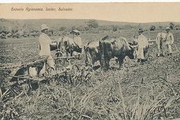 Izalco Salvador Escuela Agronomia . Plowing With Oxes . Labourage Attelage Boeufs - El Salvador