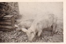 Foto Schweine Hausschweine - Ukraine Region Mariupol Makijiwka - Ca. 1942 - 8*5cm (50388) - Photographs