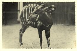 A2016[Postkaart] Dierentuin - Antwerpen ... / Bongo, Jong Mannetje ... (Nels, Thill, Photothill, Zoo, Photo Lhoëst) - Antwerpen