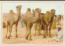 Carte Postale. Maroc Typique.  Marché Aux Chameaux. Etat Moyen. - Markets