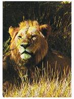 ANIMAUX   LION   CPM  TBE  ZO213 - Lions