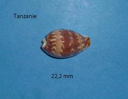 Cypraea Diluculum Zanzibar   22,2 Mm - Conchas Y Caracoles