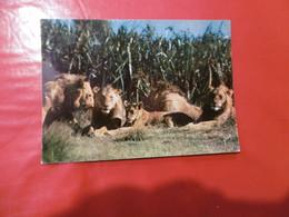 Francis Et Les Animaux D'afrique - Lions Et Lionnes - Lions