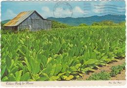 Tobacco Ready For Harvest (Photo: Joyce Haynes - 1966) - Raleigh N.C. 1982 Postmark - Raleigh