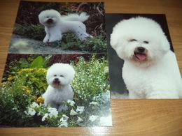 3x Hund Dog Chien Bischon,Bichon  Postkarte Postcard - Chiens