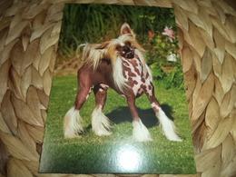 Hund Dog Chinese Crested Dog Postkarte - Chiens