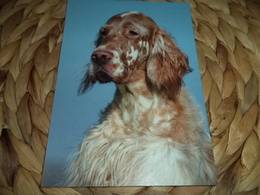 Hund Dog Chien English Setter Postkarte Postcard - Chiens