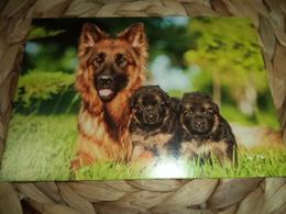 Hund Dog Chien Deutscher Schäferhund,  German Shepherd Dog  Postkarte Postcard - Chiens