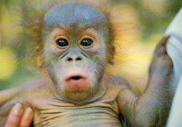 Les Mathes Zoo De La Palmyre Bébé Orang-Outang Singe - Les Mathes