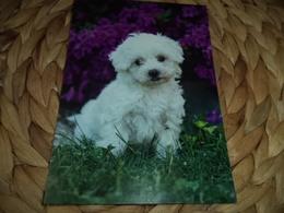 Hund Dog Chien Malteser Postkarte Postcard - Chiens