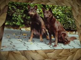 Hund Dog Kelpie  Postkarte - Chiens