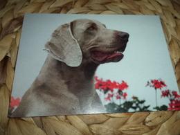 Hund Dog Chien Weimaraner Postkarte Postcard - Chiens