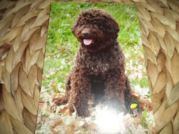 Hund Dog Chien Romagna Water Dog,Lagotto Romagnolo Postkarte Postcard - Chiens