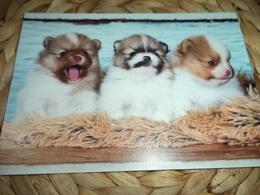 Hund Dog Chien Pomeranian Spitz Postkarte - Chiens
