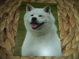 Hund Dog Chien Akita Inu Postkarte Postcard - Chiens