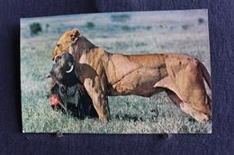 MO 353 -  Afrique  Kenya - African Wild Life  Lioness With Kill  -  Circulé  1966 - Kenia