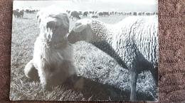 CPSM IMAGES DE FRANCHE COMTE CHIEN MOUTON   PHOTO STAINACRE 1950 60 - Chiens