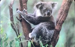 AUSTRALIE  -  Prepaid  -  CardCall  -  Koala  -  No Value - Australië