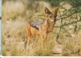 CPM, Afrique Du Sud  ( R.S.A. ) , N°450, Black  Baked Jacral.....  Ed. A.N,1988 - South Africa