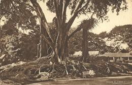 FICUS ELASTICA - RUBBER TREE - CEYLON PERADENIYA GARDENS - TUCKS POSTCARD PRINTED  BY BRITISH EMPIRE EXHIBITION - Sri Lanka (Ceylon)