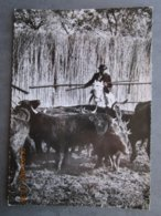 CP 19 LES SAINTES MARIES DE LA MER  - Taureaux Poursuivis Par Un Gardian à Cheval 1958 - Saintes Maries De La Mer