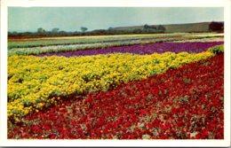 California Santa Maria Valley Lompoc Seed Flower Fields - Oakland
