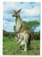 POSTCARD - ANIMALS - GREY KANGAROO - USED - 1995 - SWEDEN - WWF - PANDA LOGO  Backside - Animali