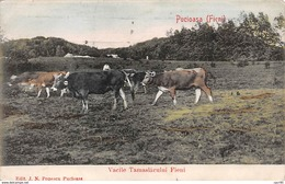 Roumanie - N°65558 - Puciosa (Fieni) - Vacile Tamaslacului  Fieni - Vaches - Rumania
