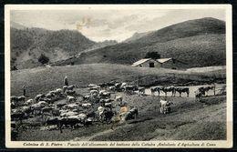 CV3191 COLMINE S. PIETRO (Lecco LC) Pascolo Dell'allevamento Del Bestiame Della Cattedra Ambulante Di Agricoltura Di Com - Lecco